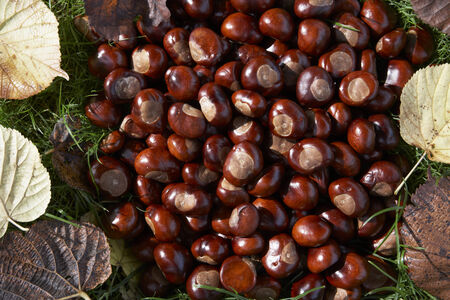 conkers: Full Frame Shot Of Conkers