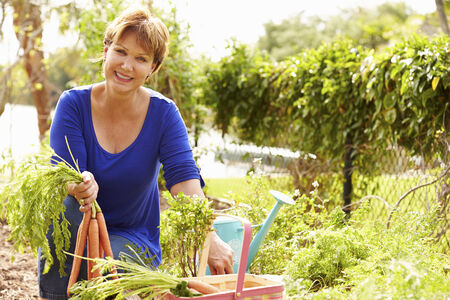 self sufficient: Senior Woman Working On Allotment And Picking Carrots