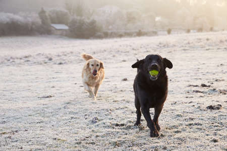 Two Dogs Running Through Frosty Landscape Chasing Ball
