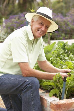 Hombre mayor en jardín de verduras de Trabajo Foto de archivo - 42396500