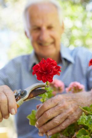 Elderly man pruning geraniums photo