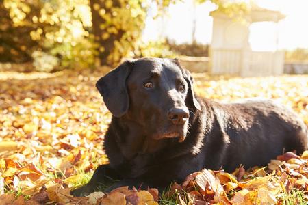 Elderly Black Labrador Dog Lying By Path In Autumn Garden Banco de Imagens