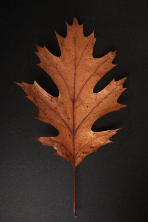 Brown Autumn leaf isolated on a black background, vertical