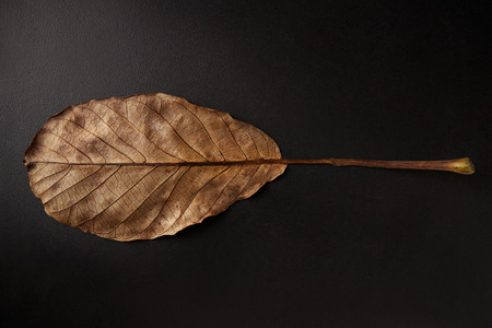 Underside of brown oval leaf on black background, horizontal 版權商用圖片