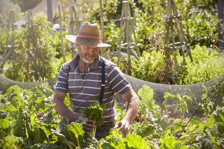 self sufficient: Mature Man Working On Community Allotment Stock Photo