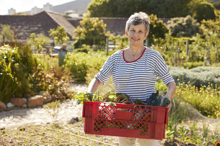 self sufficient: Mature Woman Carrying Crate Of Produce On Community Allotment