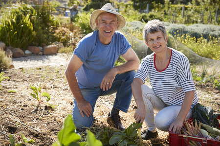 self sufficient: Portrait Of Mature Couple Harvesting Beetroot On Allotment Stock Photo