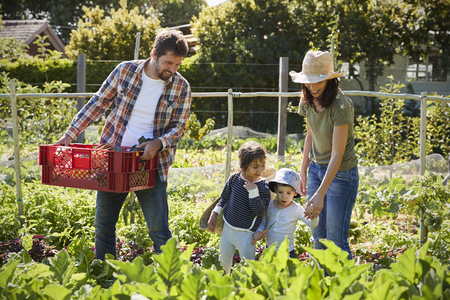 self sufficient: Family Harvesting Produce From Allotment Together