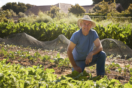 self sufficient: Portrait Of Mature Man Harvesting Beetroot On Allotment Stock Photo