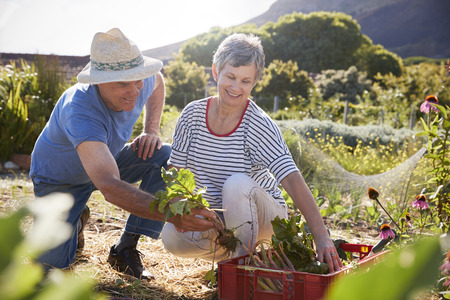 self sufficient: Mature Couple Harvesting Beetroot On Community Allotment Stock Photo