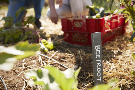 self sufficient: Sign Marking Beetroot Crop On Community Allotment Stock Photo