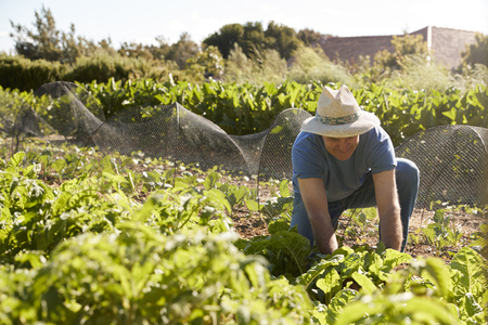 Mature Man Harvesting Beetroot On Community Allotment