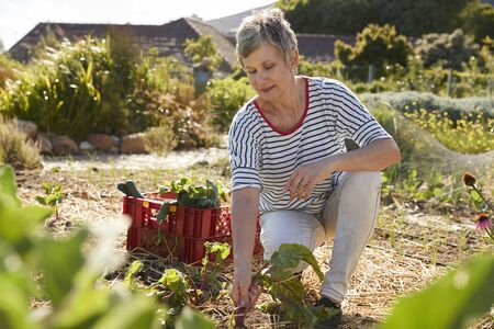 self sufficient: Mature Woman Harvesting Beetroot On Community Allotment