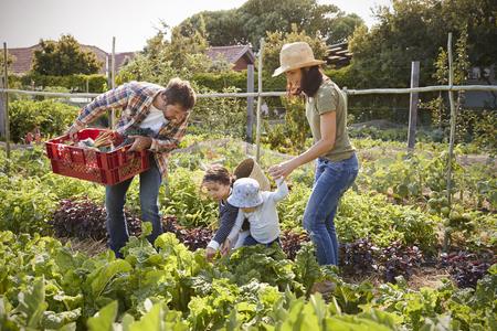 가족 수확은 함께 할당에서 생산한다.