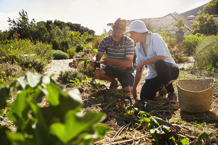 self sufficient: Mature Couple Working On Community Allotment Together Stock Photo