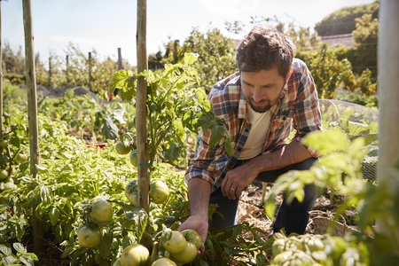 Man Checking Tomato Plants Growing On Allotment Banco de Imagens