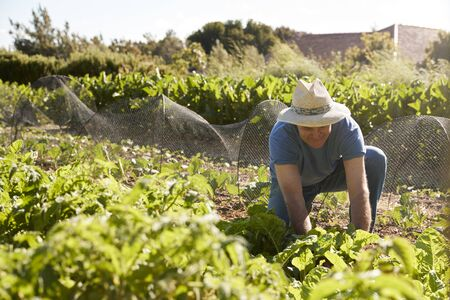 self sufficient: Mature Man Harvesting Beetroot On Community Allotment