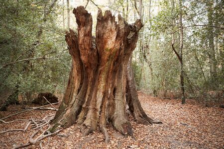 Burnham Beeches, UK - 7 November 2016: Dead Tree Trunk In Woods At Burnham Beeches In Buckinghamshire
