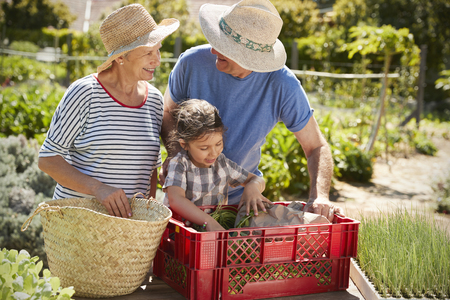 Grandparents With Granddaughter Working On Allotment Together Stock Photo