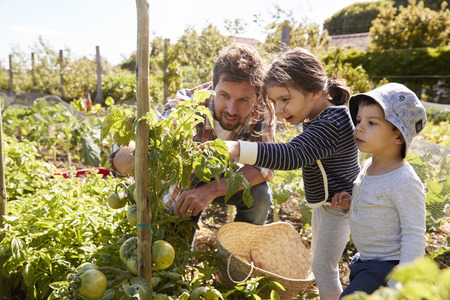 Father And Children Looking At Tomatoes Growing On Allotment Stockfoto