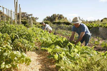Mature Couple Harvesting Beetroot On Community Allotment Stock Photo