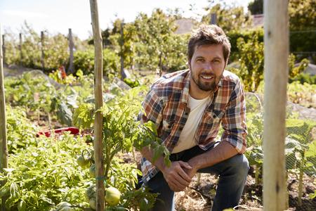 Portrait Of Man Checking Tomato Plants Growing On Allotment Reklamní fotografie
