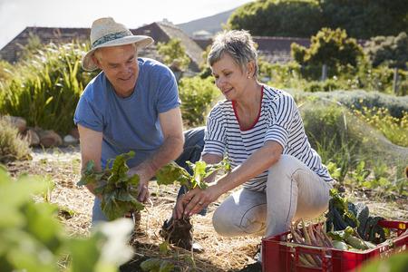 Mature Couple Harvesting Beetroot On Community Allotment Reklamní fotografie