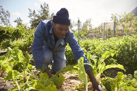 Gardener Working In Community Allotment Banco de Imagens