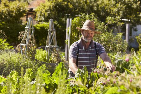 Mature Man Working On Community Allotment Banco de Imagens