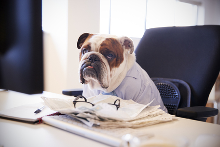 British Bulldog Dressed As Businessman Works At Desk On Computer