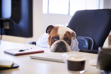 Britische Bulldogge verkleidet als Geschäftsmann, der traurig am Schreibtisch schaut Standard-Bild
