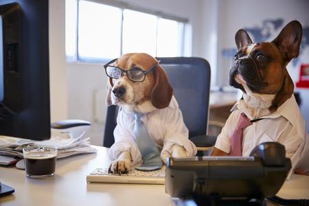 Bulldogge und Beagle verkleidet als Geschäftsleute am Schreibtisch mit Computer