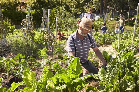 Mature Man Working On Community Allotment Standard-Bild