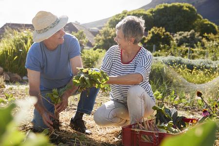 Mature Couple Harvesting Beetroot On Community Allotment Standard-Bild