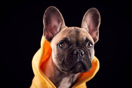 Retrato de estudio de cachorro Bulldog Francés vistiendo una sudadera con capucha contra fondo negro