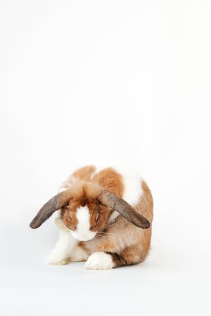 Studio Portrait Of Miniature Brown And White Flop Eared Rabbit Cleaning Itself On White Background