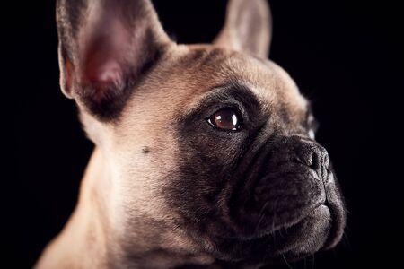 Studio Portrait Of French Bulldog Puppy Against Black Background