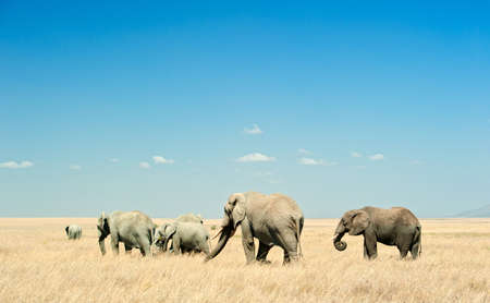 A herd of African Elephants  loxodonta  is moving in the dry plains of Serengeti National Park in Tanzania, East Africa