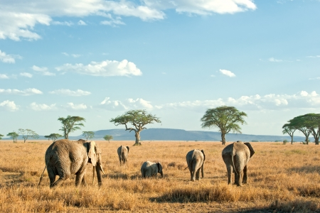 A herd of African Elephants  loxodonta  is moving in the evening light in the dry plains of Serengeti National Park in Tanzania, East Africa