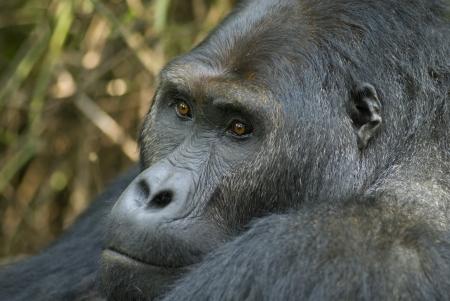 Portrait of a silverback gorilla of the sub-species Eastern Lowland Gorilla Stock Photo