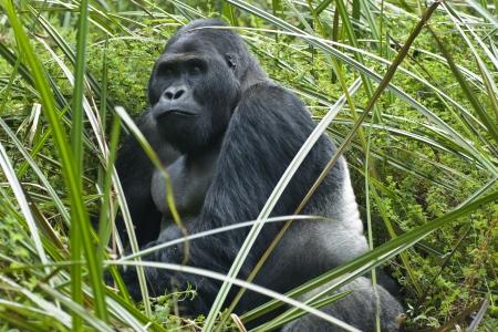 A silverback gorilla of the sub-species Eastern Lowland Gorilla