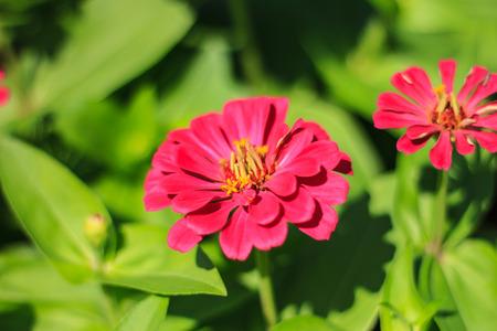 Chrysanthemum flower in a garden Stock Photo
