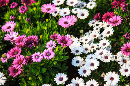 White and pink daisy in graden,Thailand photo