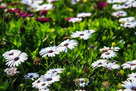 White daisy in graden,Thailand photo