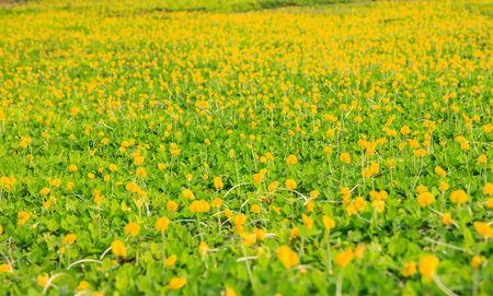 arachis: Pinto Peanut plant or Arachis Pintoi