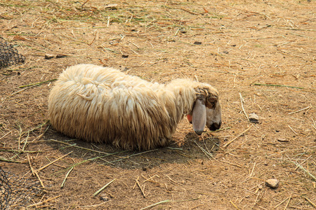 Brown sheep in the fold