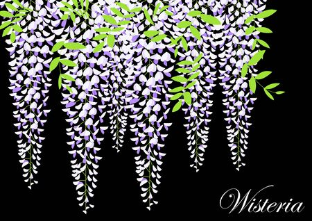 Blooming wisteria branch with leaves vector illustration Illustration