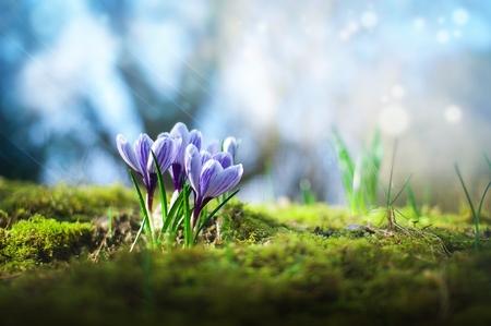 Beautiful spring purple crocuses in sunshine