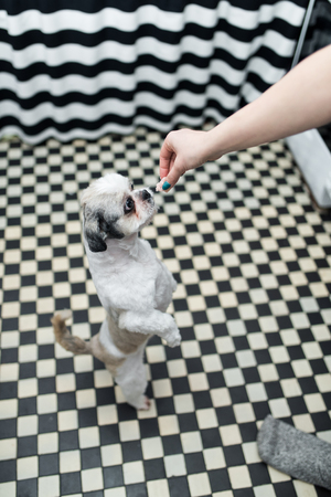 Beautiful young Shih Tzu dog with big eyes standing on the paws his lady begs for food Stock Photo