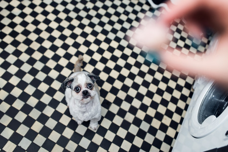 Beautiful young Shih Tzu dog with big eyes looking at his lady and waiting for food Lizenzfreie Bilder